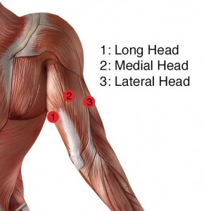 the anatomy of the elbow extensor