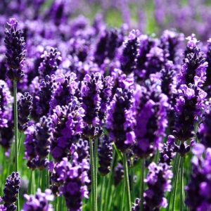 Try lavender for enhanced sleep